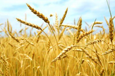 Propriedades do germen de trigo