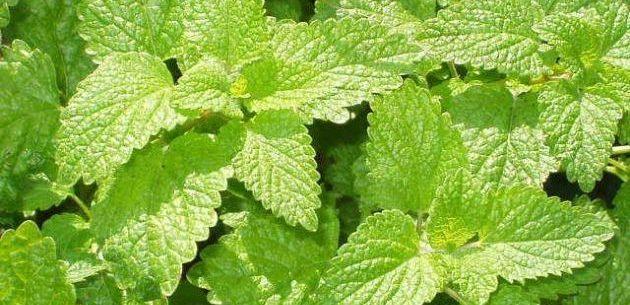 Benefícios da erva-cidreira para a saúde