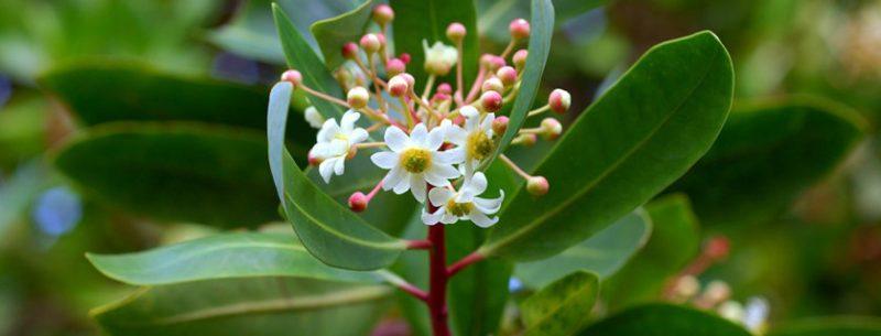 O que é catuaba, quais seus benefícios e efeitos colaterais?